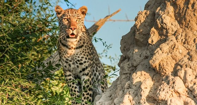 Wild Cats of Africa